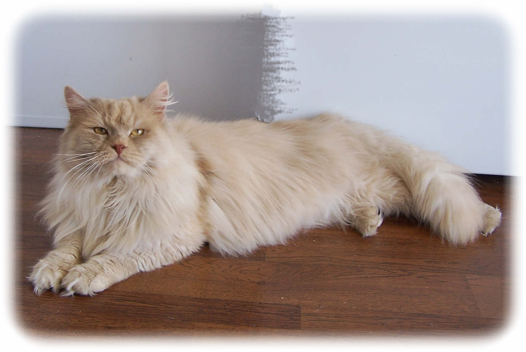 Terra Siberian Cats & Kittens Available For Sale What Is A Siberian